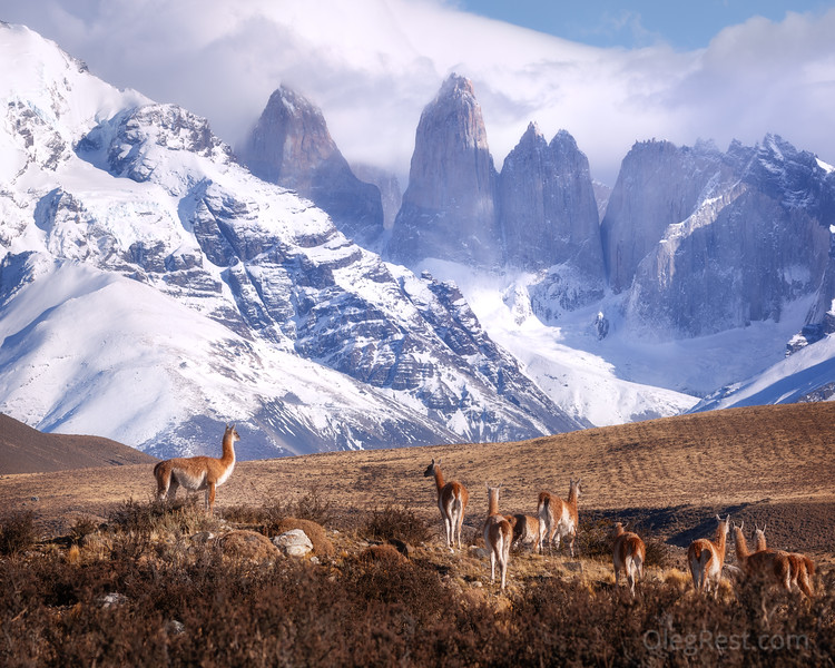 Guanakos in Patagonia