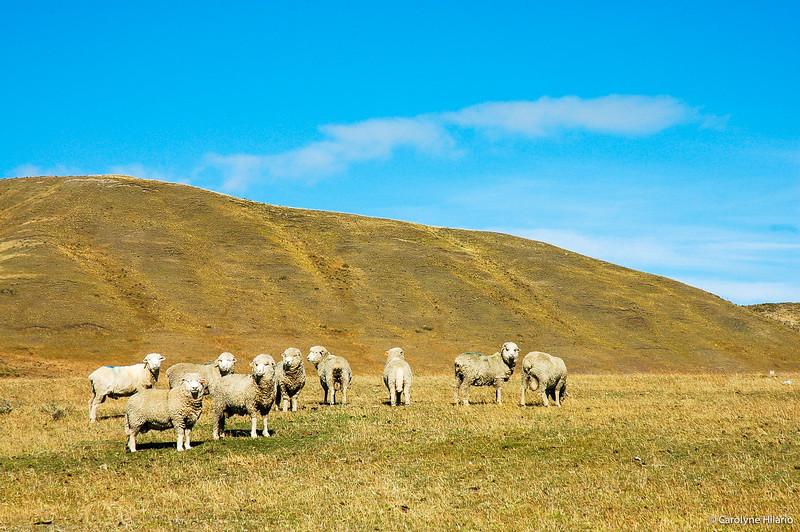 Sheeps<br /> Porvenir<br /> Tierra del Fuego, Chilean Patagonia