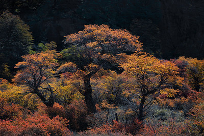 Patagonia's Beech trees basking in sunlight - Argentina