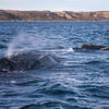 Southern Right Whales at Puerto Piramides, Argentina