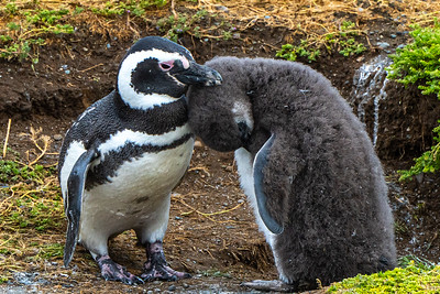 Magdalena Penguin and her pup