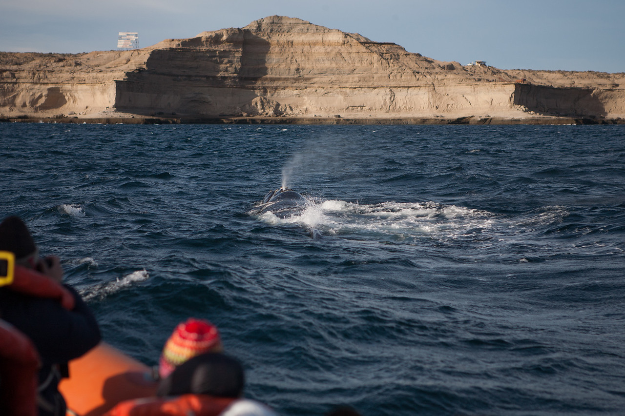 Southern Right Whale at Puerto Piramides on Peninsula Valdes near Puerto Madryn, northern Patagonia, Argentina
