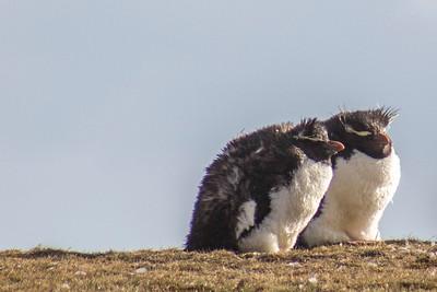 Penguinos Macaroni, Gangstas