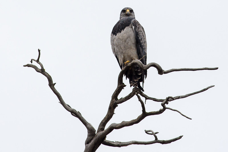 Su majestad el Aguila Mora<br /> (Geranoaetus melanoleucus)