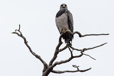 Su majestad el Aguila Mora (Geranoaetus melanoleucus)