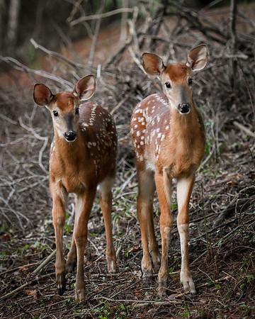 Patapsco Falls Deer
