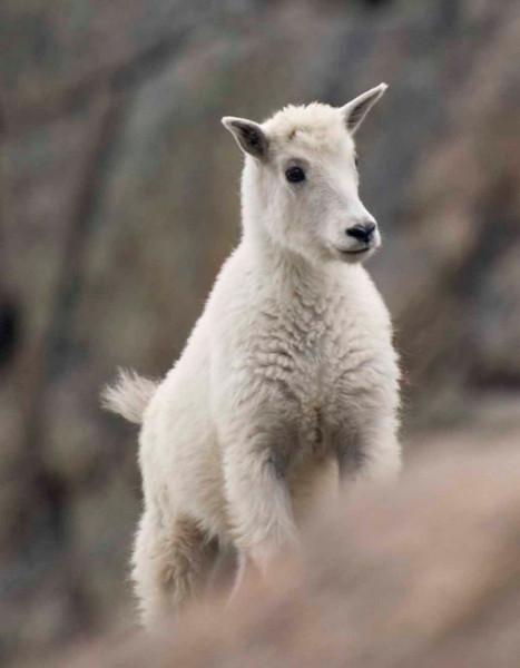 Baby Goat - Mount Evans