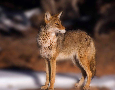 Young female coyote - Islands in the Sky, Canyonlands NP