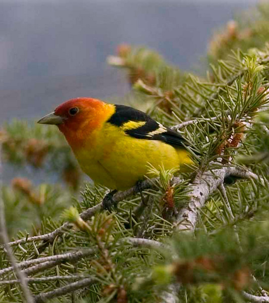 Easing my grief - Western Tanager at Black Canyon NP