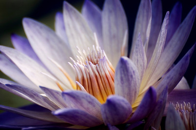 Waterlily - Denver Botanic Garden