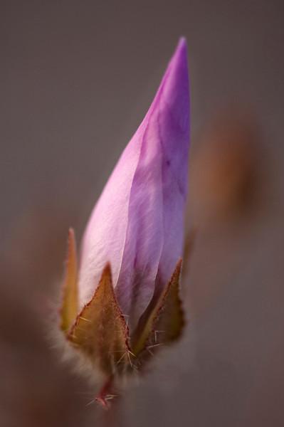 Death Valley Delight - Desert Five Spot in bud