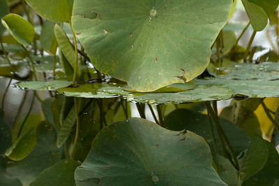 Lily pads in the garden