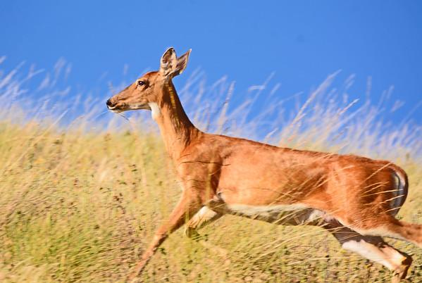 Patit Creek, Lewis Gulch Elk and Deer,  6-26-16
