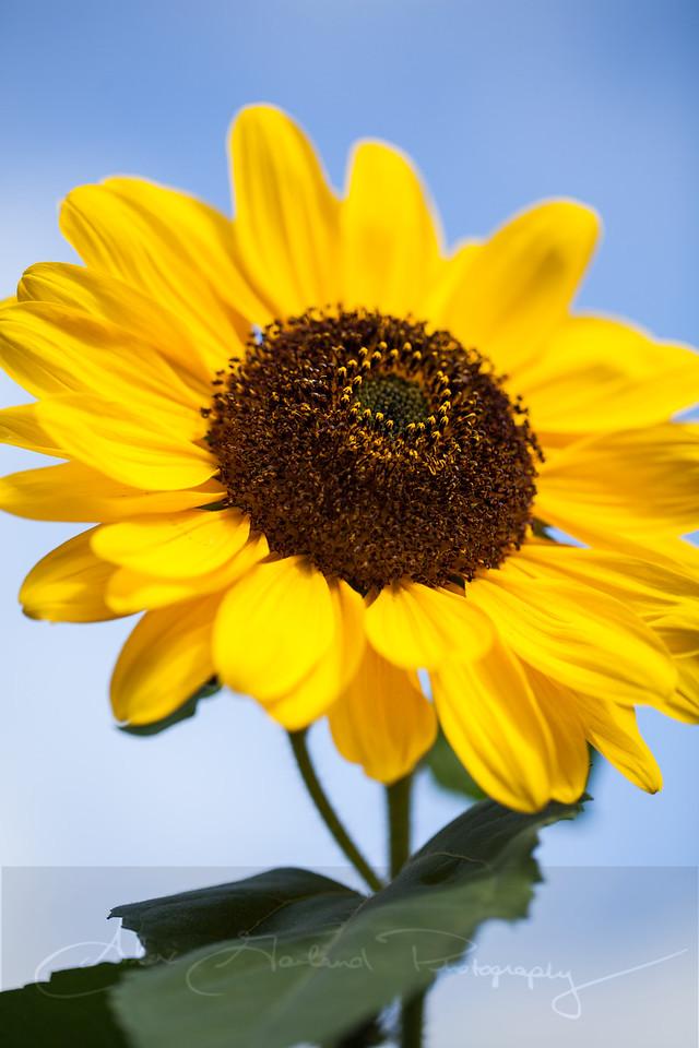 Sun. Flower.