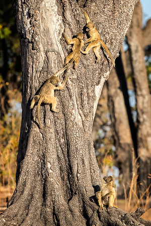 Young chacma baboons climbing tree