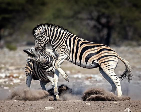 Plains Zebras fighting, Namibia