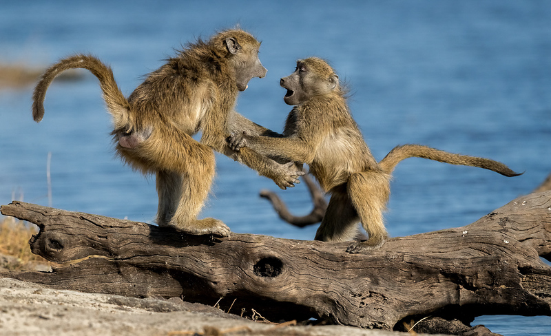 Chacma baboons play fighting