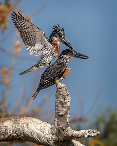 Giant kingfishers, male pulling feather