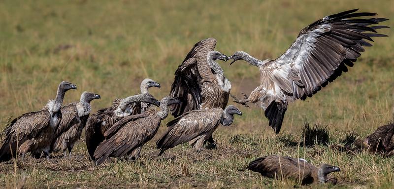 White-backed vulture squabble