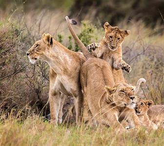Lion cub pounce