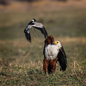 Blacksmith lapwing harassing fish eagle