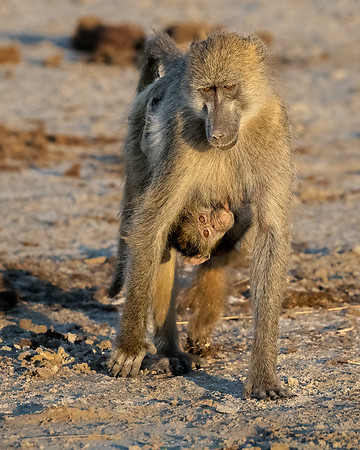 Chacma baboon with nursing youngster