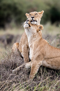 Lionesses greeting