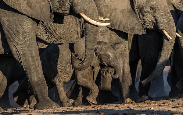 African elephant herd, Chobe River, Botswana