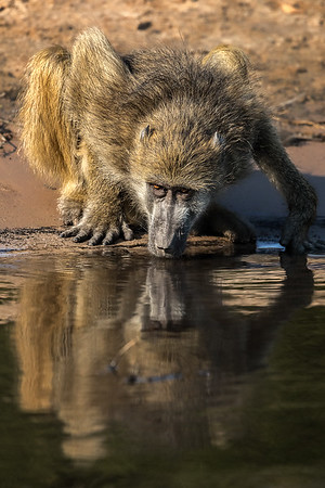 Chacma baboon drinking