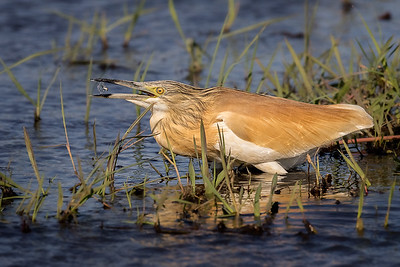 Squacco heron with fish