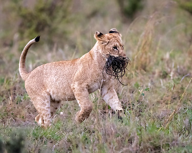 Lion cub with wilderbeast tail