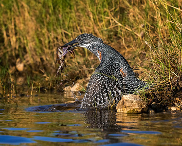 Giant kingfisher catches a crab, Chobe River, Botswana