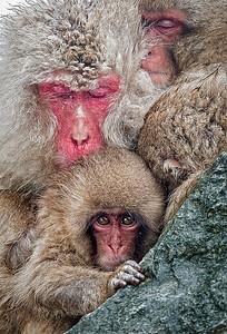 Snow monkeys huddling for warmth, Japan