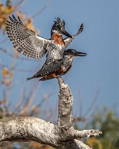 Giant kingfishers mating