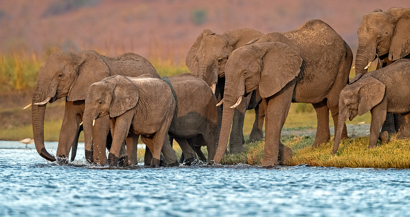 AfricanElephantsDrinking