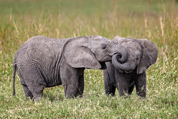 African elephant calves interacting