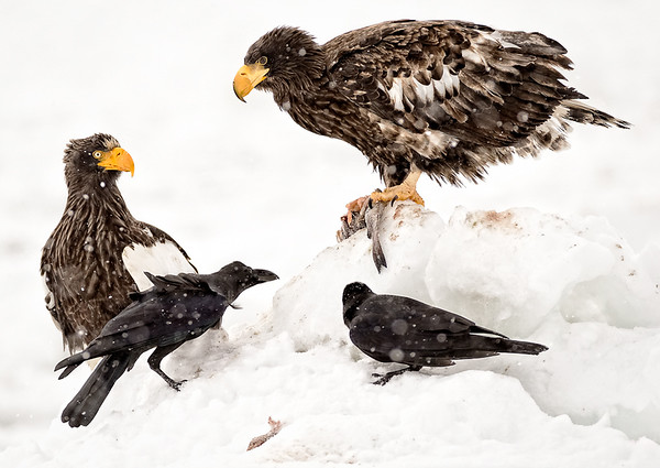 Steller's sea eagle with beggers, Japan