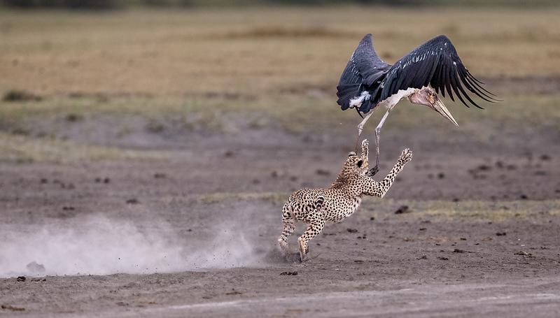 CheetahAndCloseCallForMarabouStork