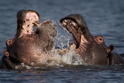 HipposPlaying
