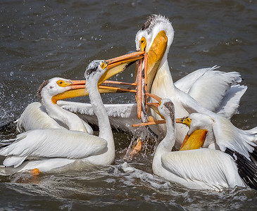 American white pelicans trying to steal fish