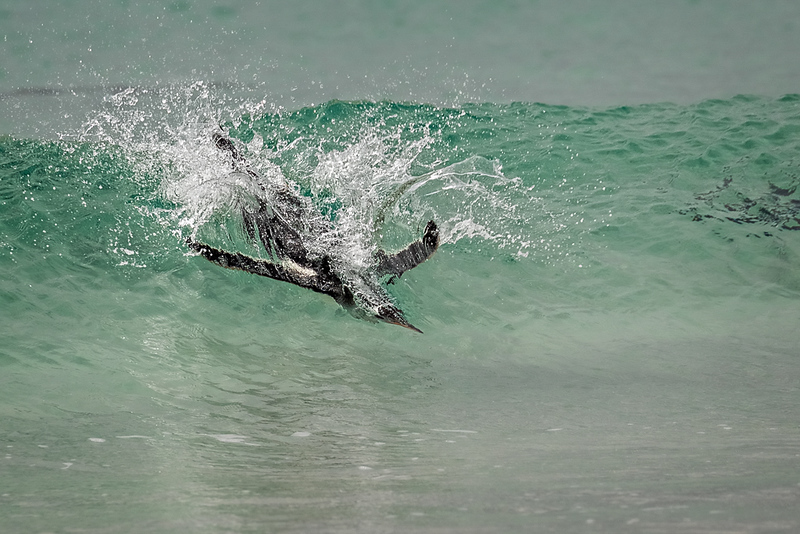Gentoo penguin surfing
