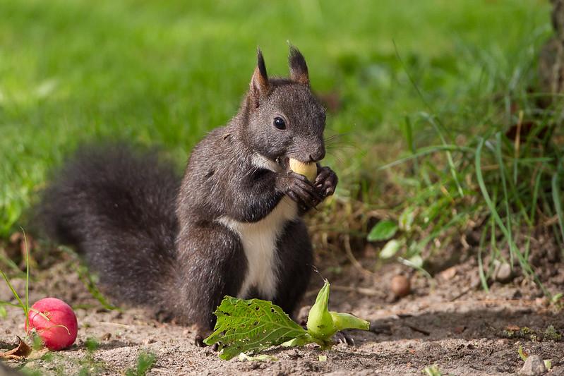 Sort Egern