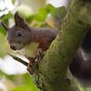 Sort/Rødt Egern