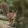 Rødt Egern