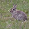 Villkanin / Rabbit <br /> Getterön, Sverige 25.5.2009<br /> Canon EOS 50D + EF 400 mm 5.6 L