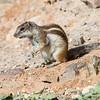 Berberjordekorn / Barbary Ground Squirrel<br /> Fuerteventura, Kanariøyene 27.12.2012<br /> Canon EOS 7D + EF 100-400 mm 4,5-5,6 L