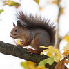 Ekorn / Red Squirrel<br /> Linneslia, Lier 20.10.2013<br /> Canon EOS 5D Mark II + EF 100-400 mm 4,5-5,6 L