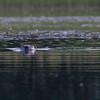 Bever / Beaver<br /> Svensedammen, Drammen 27.7.2012<br /> Canon EOS 7D + EF 100-400 mm 4,5-5,6 L