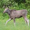 Elg / Moose<br /> Lillesvarttjønna, Vefsn 8.7.2015<br /> Canon 7D Mark II + Tamron 150 - 600 mm 5,0 - 6,3
