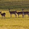 Dådyr / Fallow Deer <br /> Skåne, Sverige 23.5.2009<br /> Canon EOS 50D + EF 400 mm 5.6 L